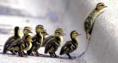 image where there is a group of baby duck against a step, where one of them has managed to upload